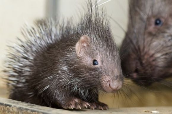 20 Animals You Never See As Babies - baby porcupine - he looks like he's smiling...