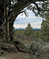 ancient juniper central oregon backcountry