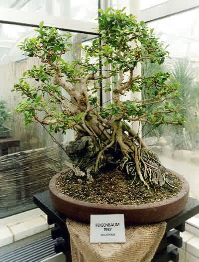 rp ficus microcarpa ginseng fig roots over rocks. Black Bedroom Furniture Sets. Home Design Ideas