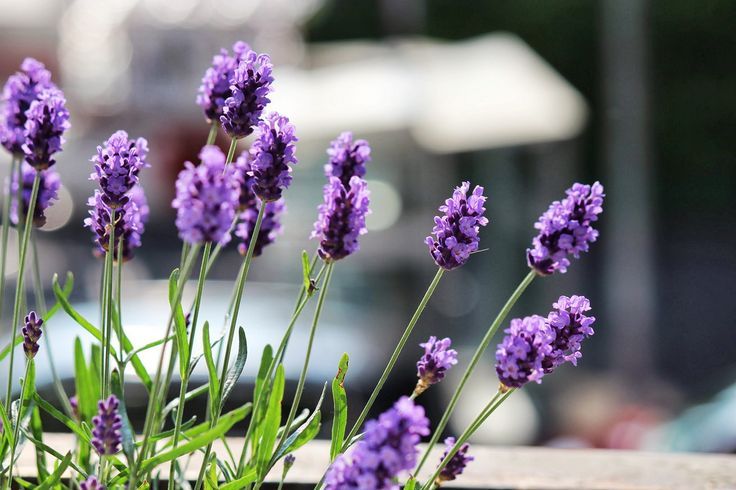 Cómo reproducir la lavanda por esquejes - http://www.jardineriaon.com/reproducir-la-lavanda-esquejes.html #plantas