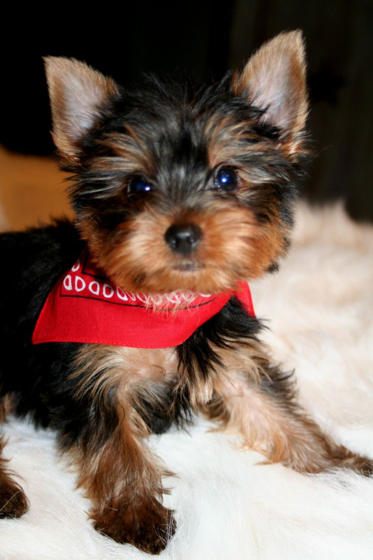 Pin by Carrie on TEXAS YORKIES Pinterest