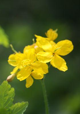 VÉREHULLÓ FECSKEFŰ Latinnév: + Chelidonium május L. Családnév: Mákfélék családja (Papaveraceae) http://www.gyogynovenyek.com/ *******************gyogynovenyek.php