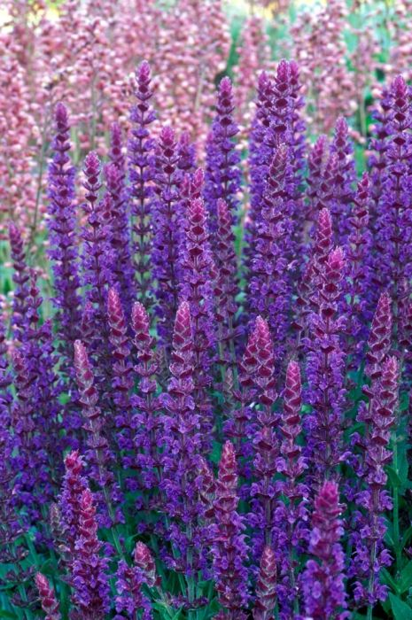 Salvia nemerosa 'Ostfriesland' AGM Masses of intense violet blue flower spikes from July to September rise from clumps of green heavily veined leaves. Height 45cm. Spread 45cm.