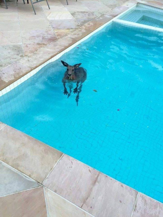 Awesome This Kangaroo Was Caught On Camera Casually Taking A Swim In A Backyard Pool