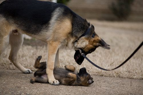 German shepherds :)