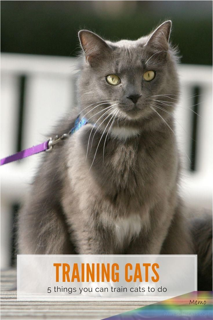 If You Thought Training Was Only For Dogs Then Think Again Because You Can Train Your Cat Too We Share Our Secrets In 2020 Cat Training Kitten Care Raising Kittens