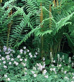Cinnamon fern and perennial geranium