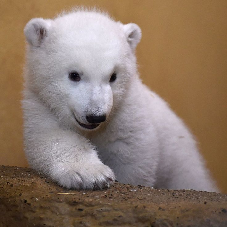 The First Day of the Polar Bear Cub at Bremerhaven Zoo in Germany, http://photovide.com/polar-bear-born-bremerhaven-zoo/