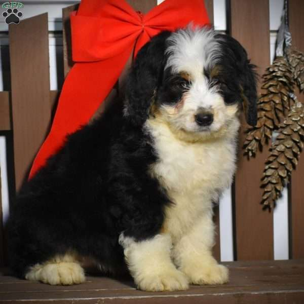Betty Mini Bernedoodle Puppy For Sale In Pennsylvania In 2020