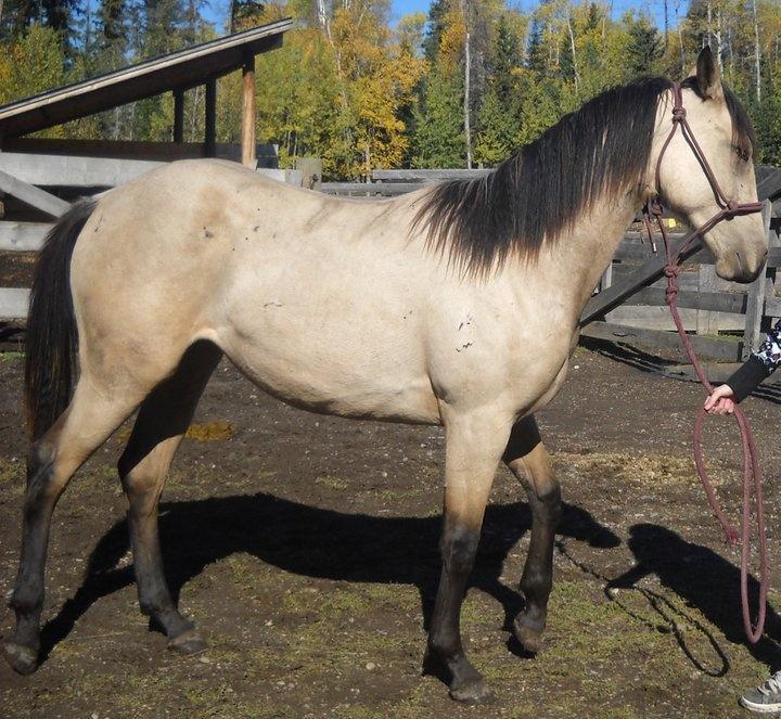 quarter horse buckskin - photo #17