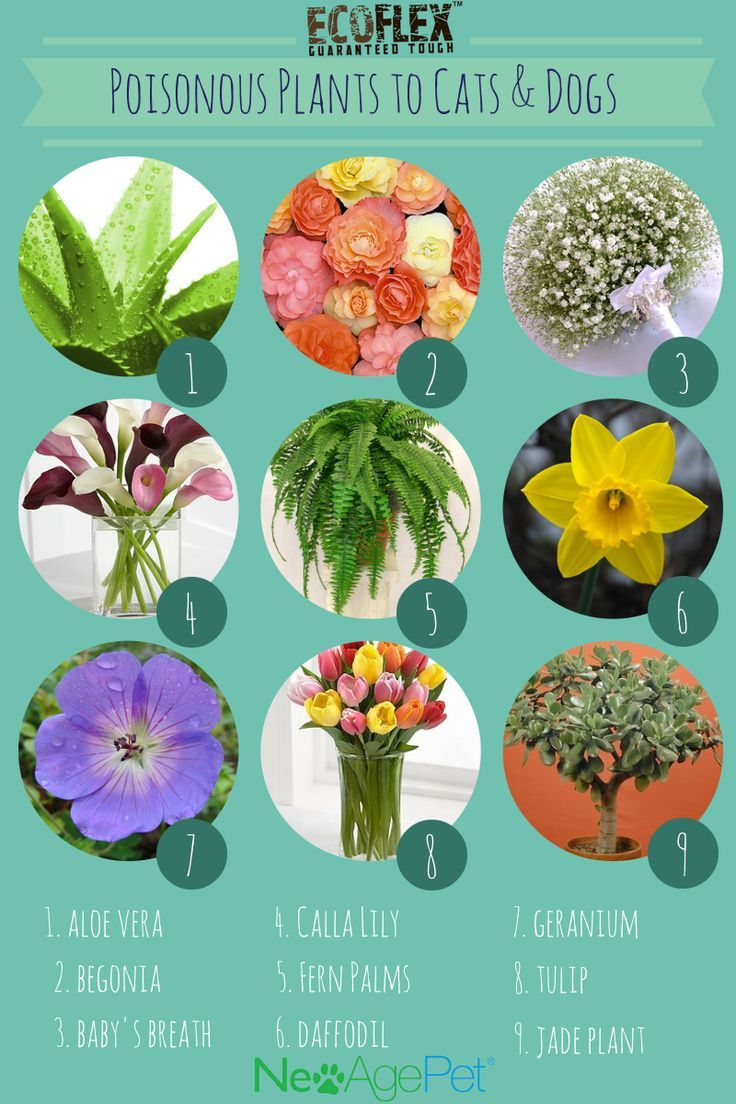 Plants And Flowers That Are Bad For Pet Dogs And Cats Toxic Plants For Cats Cat Plants Dog Friendly Plants