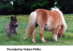 Breeds of Livestock - Shetland Pony