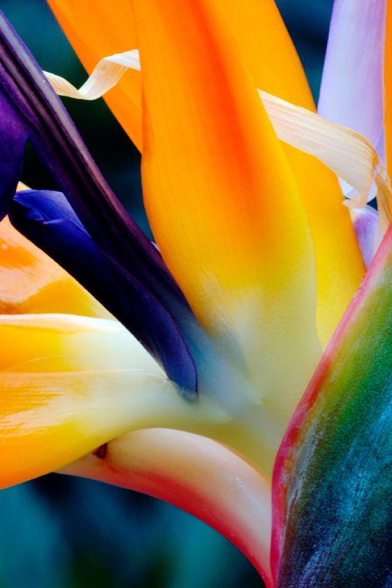 Bird of Paradise Orchid, also known as 'Parrot flower' (Strelitzia reginae) - close-up.