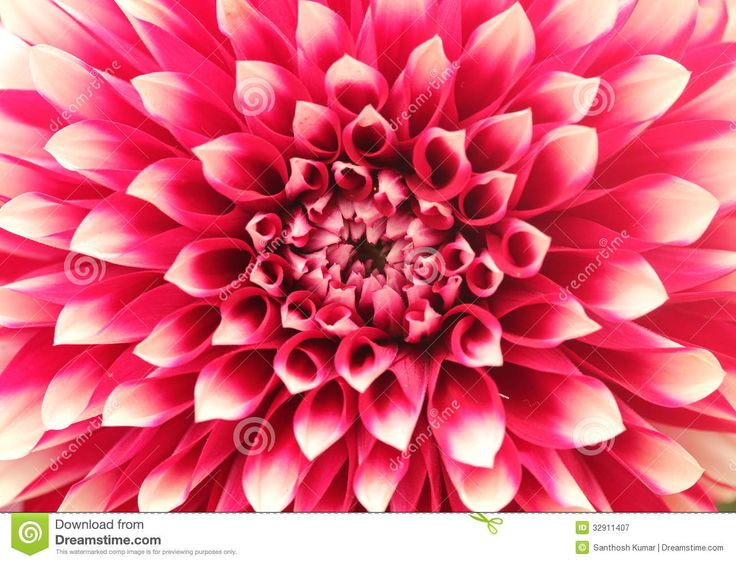 Macro(closeup) Of Dahlia Flower With Pink Petals In Circles ...