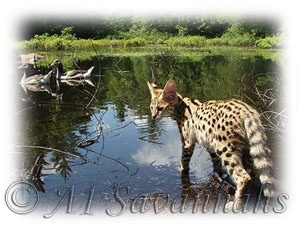 I want one!!! Serval Kittens Serval Cats For Sale Serval Kittens For Sale