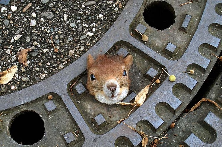 Squirrel in a man hole.: Awesome Animal, Olives Oil, The Police, Animal Photo, Funny Squirrels, Peekaboo, Peek A Boo, Manhol Covers, Baby Seals