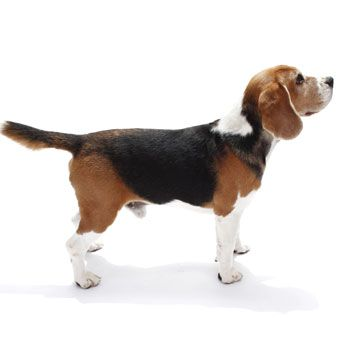 Beagle - Medium Dog Breed Profile