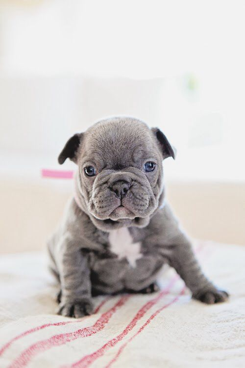 French Bulldogs - When we get a friend for Dolly we are getting a grey one. How stinkin cute!! :)