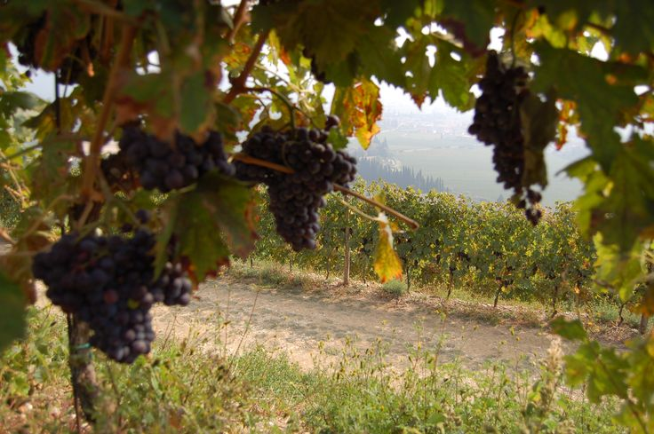 Harvest in Tommasi's vineyards