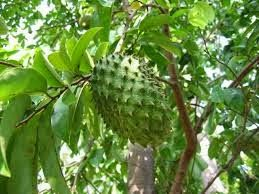 soursop for cancer, healthy juice
