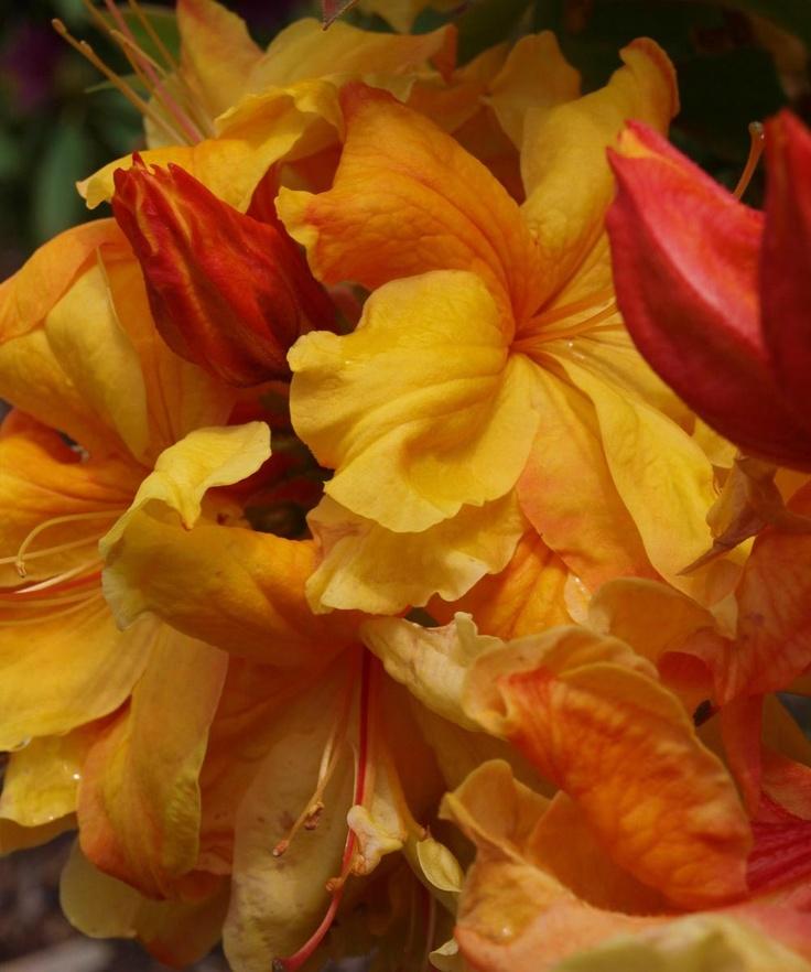azalea sunte nectarine