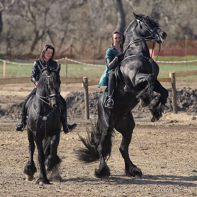 Friesian horse's show | Flickr - Photo Sharing!