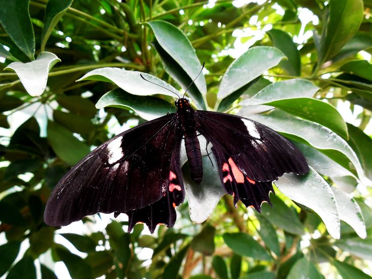 Pretty black butterfly.