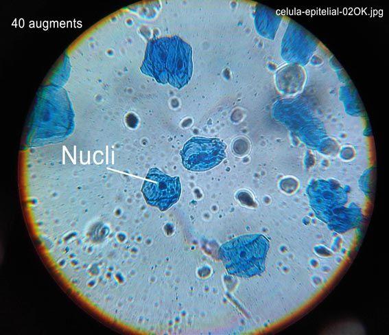 Práctica Nº 4 Células Animales Mucosa Bucal Microscópio