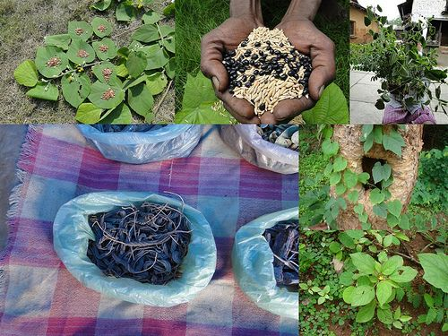 Medicinal Rice Formulations for Diabetes and Cancer Complications, Heart and Kidney Diseases (TH Group-100 special) from Pankaj Oudhia's Medicinal Plant Database