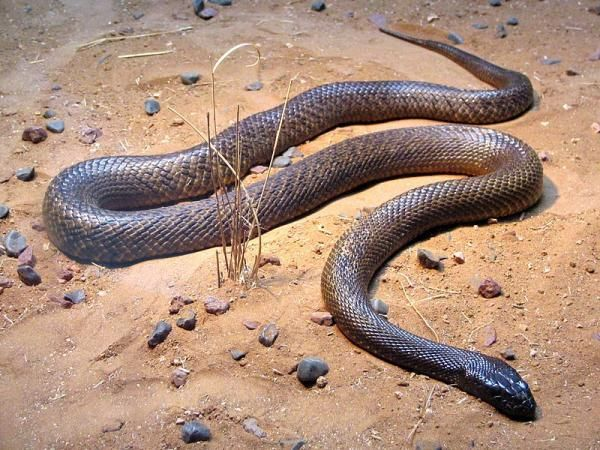 3. Inland Taipan  The inland taipan's nastiness can probably be inferred by its other name, the fierce snake. It's the most poisonous snake in the world, with a single bite containing enough venom to kill up to 100 adults. Not only is it deadly, but it's a quick killer too. It can kill you in less than 45 minutes.