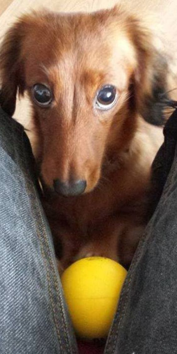 Dachshund wants to play 😍🐶