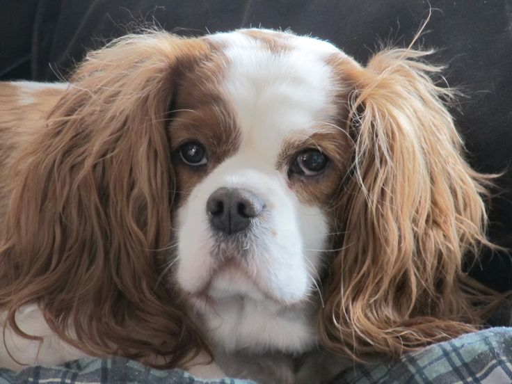 Charlie The Cavalier : Buying Dog Food Online is Easy from Dog Food Direct