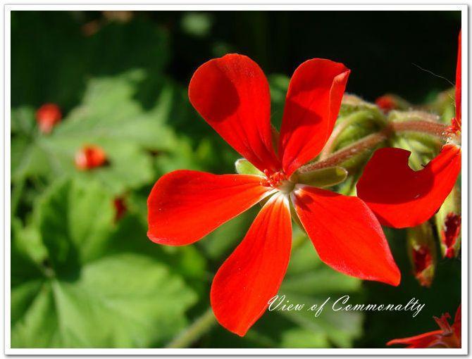 Scarlet geranier [No.2210]