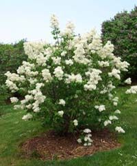 Transplanting Lilac Bushes - good to know