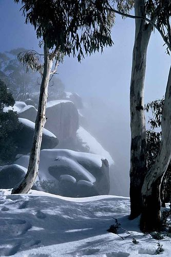 Snowgums, Mount Buffalo in Victoria by Bush Philosopher - Dave Clarke, via Flickr