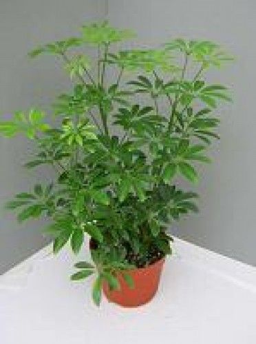 Schefflera arboricola 39 dwarf umbrella plant mini 39 this is a tall lush growing houseplant valued - Low maintenance plants for indoors ...