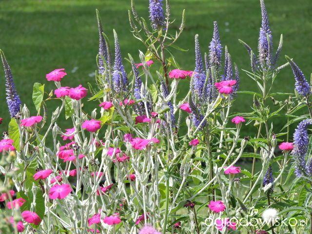 Zielonej ogrodniczki marzenie o zielonym ogrodzie - strona 716 - Forum ogrodnicze - Ogrodowisko