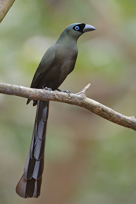 Racket-tailed Treepie (Crypsirina temia) by Con Foley. This Asian treepie almost always feeds in trees (arboreal), never feeding from the ground though coming down to bathe on occasion.