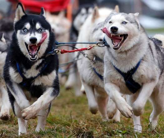 Venek, Hungary - LASZLO BALOGH/Newscom/Reuters VENEK, HUNGARY Sled dogs racing during the FISTC Cart European Championships.