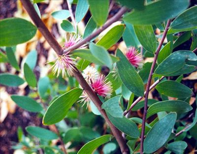 Hakea obtusa • Australian Native Plants Nursery • Plants • 800.701.6517