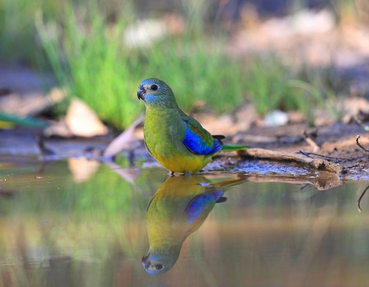 Young Male Turquoise Parrot.
