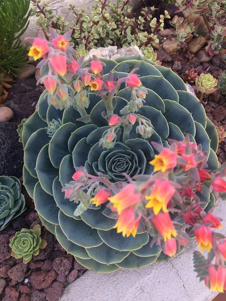 Succulents Echeveria Sedum Crassula Graptopetalum Aeonium Monanthes Anacampseros