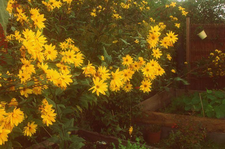 topinambur - kwiaty