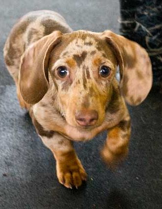 43 Best Chocolate Dachshunds Images On Pinterest Baby