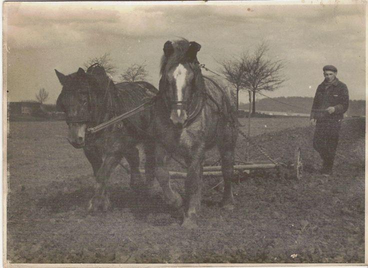 Belgian Draft Horse year 1940 in Belgium Groot-Bijgaarden
