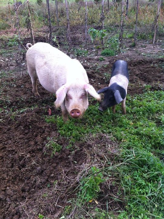 #maiali #pig #pink #animals