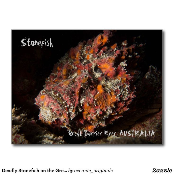 Deadly Stonefish on the Great Barrier Reef Postcard