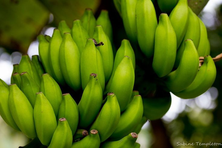 """A traditional Fijian meal includes a starch, relishes, and a beverage. The starch component, which is referred to as """"real food,"""" is usually taro, yams, sweet potatoes, or manioc but may consist of tree crops such as breadfruit, bananas, and nuts."""