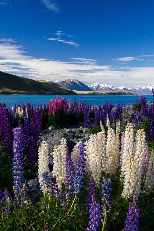 December Lupines of Lake Tekapo, New Zealand