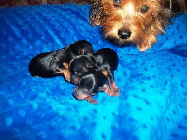 Akc Male Teacup Yorkshire Terrier Puppies Ready To Go October